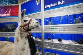 llama-inspects-the-facilities