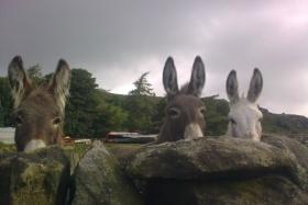 donkeys-over-wall