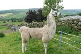 shearing-2013-021