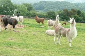 shearing-2013-022