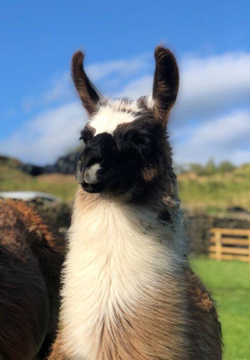 Hannah the Llama