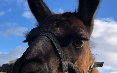 Experience a different type of Yorkshire attraction this year – Discover Nidderdale Llamas in Harrogate