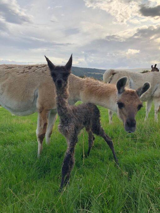baby llama pippa with mum jenny
