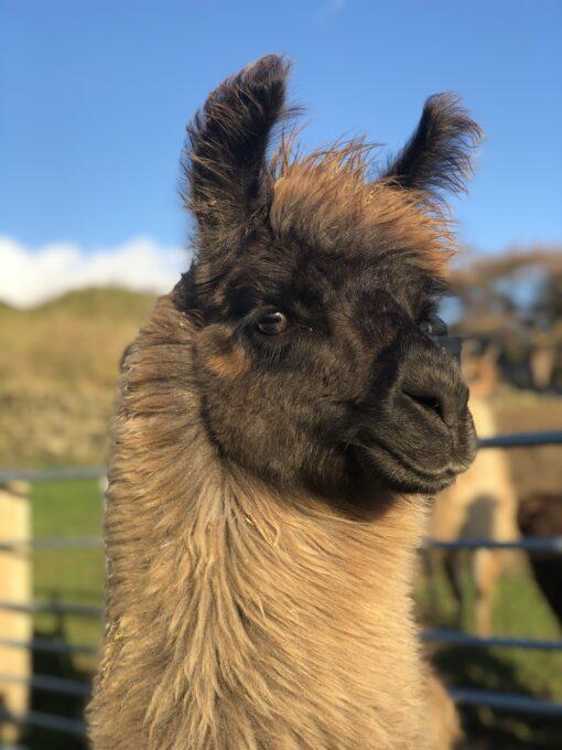 pippa the brown tampuli llama