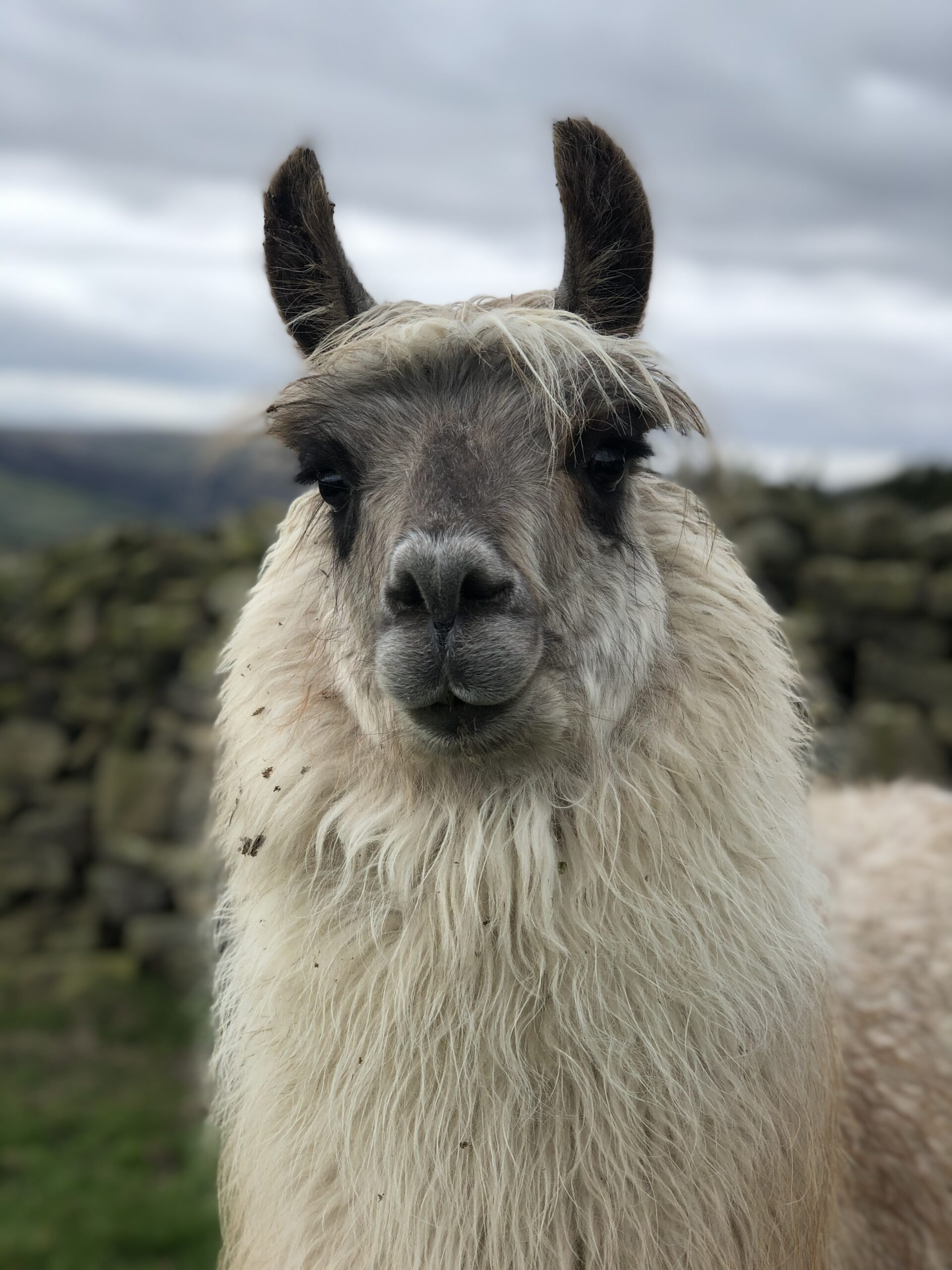 white and grey tampuli llama