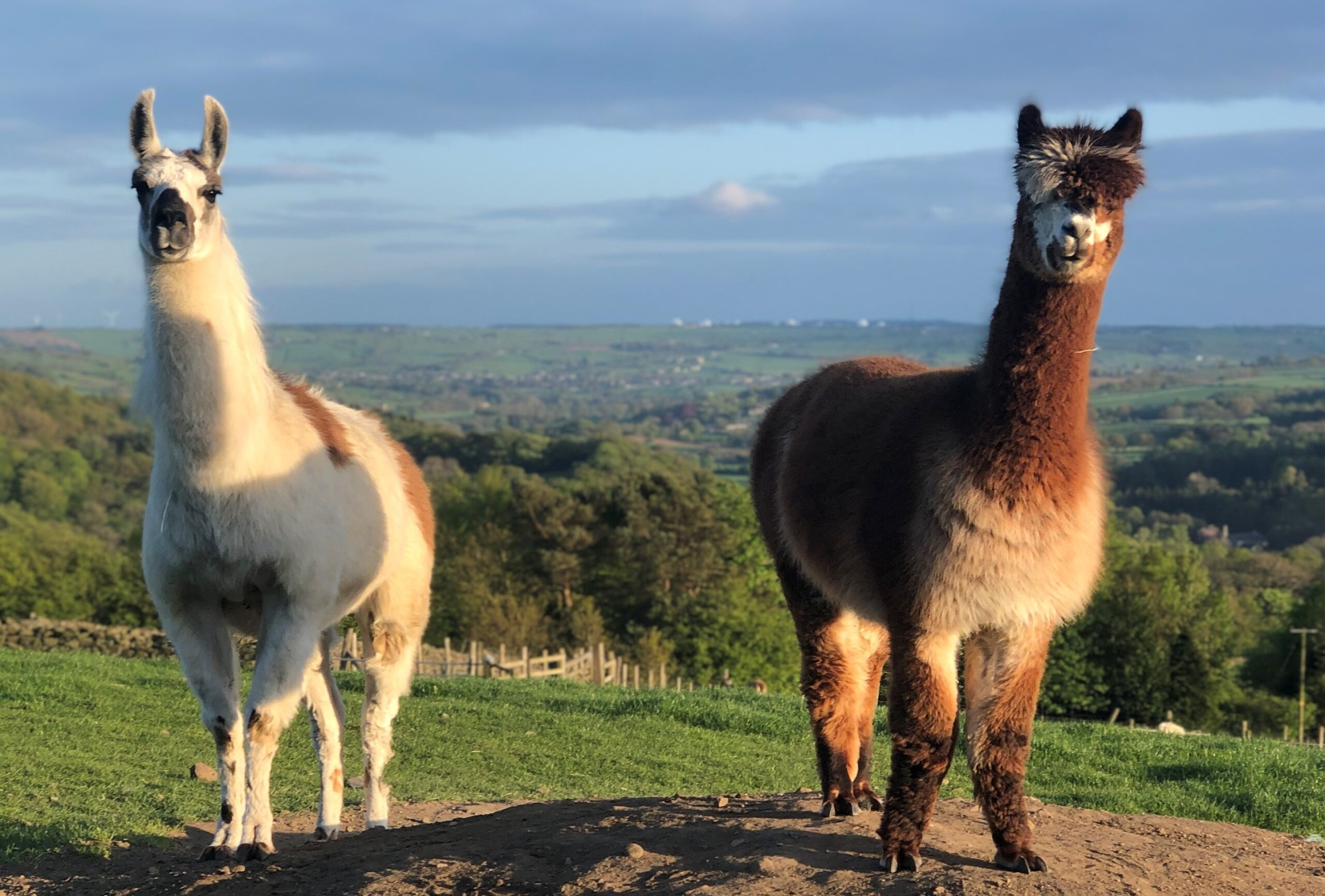 white and ginger llama with a ginger and white alpaca